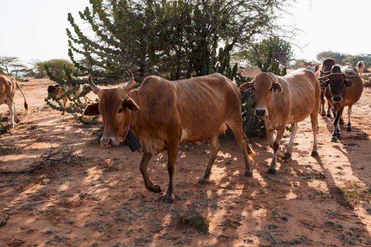 Nigerijos Zamfaros valstija siūlo banditams karves už AK-47